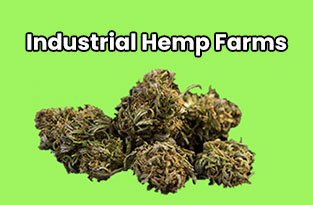 Industrial Hemp Farms Review | The Best CBD Hemp Clones And Seeds